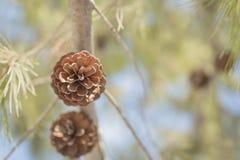 Een denneappel op een boomtak Stock Foto