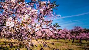 Een dicht omhooggaand beeld van een bloeiende roze tak van de amandelboom in de lente stock foto's