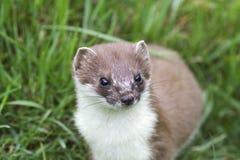 Een dicht omhooggaand beeld van een hermelijn Stock Foto
