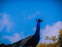 Een dicht omhooggaand portret van de Indische blauwe hemel van het pauwverstand als achtergrond stock foto