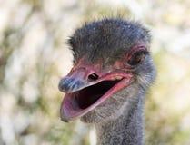 Een Dicht Omhooggaand Portret van een Mannelijke Struisvogel Stock Afbeeldingen