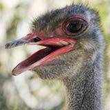 Een Dicht Omhooggaand Portret van een Mannelijke Struisvogel Stock Foto