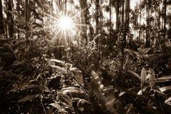 Een dichte bosdielandschapsscène in sepia met de het plaatsen zon wordt gezien die door de bomen sijpelen stock foto