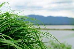 Een dichte massa van gras Royalty-vrije Stock Afbeelding