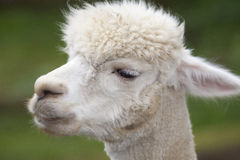 Een dichte omhooggaande foto van een wit alpacashoofd Royalty-vrije Stock Afbeelding