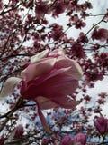 Een dichte omhooggaande foto van een Magnoliabloei Stock Foto's
