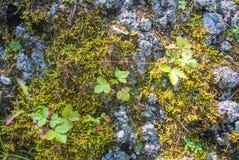Een dichte omhooggaande mening aan wilde aardbei en textureg groen mos op Th Royalty-vrije Stock Foto
