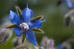 Een dichte omhooggaande mening van een Borago-officinalis, of borage, bloem royalty-vrije stock foto's