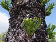 Een dichte omhooggaande mening van pijnboomboom tonen die zich binnen de knopen op de boomstam vertakken Stock Fotografie