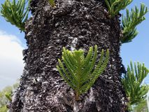 Een dichte omhooggaande mening van pijnboomboom tonen die zich binnen de knopen op de boomstam vertakken Stock Afbeeldingen