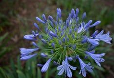 Een diepe blauwe ` Nile Lily ` bloeit in dit weelderige groene park van Florida royalty-vrije stock foto's
