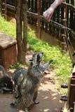Een dier van de wasbeerfamilie van de soort Ursus Van Noord-Amerika, omdat het voedsel in het water alvorens te eten, kip wordt g royalty-vrije stock foto's