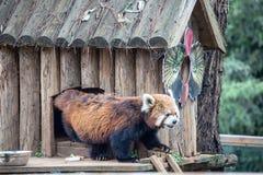 Een dier van de wasbeerfamilie van de soort Ursus Van Noord-Amerika, omdat het voedsel in het water alvorens te eten, kip wordt g stock foto