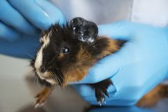 Een dierenarts die met blauwe handschoenen een jong proefkonijn in de veterinaire kliniek behandelen royalty-vrije stock foto
