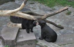 Een dierentuin in Guangzhou, de beren krabt bij Royalty-vrije Stock Afbeeldingen