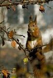 Een diner van een eekhoorn Royalty-vrije Stock Afbeelding