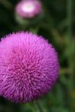 Een distel die op een zonnige dag bloeit. Stock Afbeelding