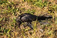 Een dode frugilegus van roekcorvus op het gras stock fotografie