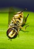 Een dode hoverfly Stock Foto