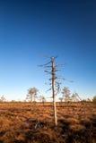 Een dode moeraspijnboom Royalty-vrije Stock Foto's