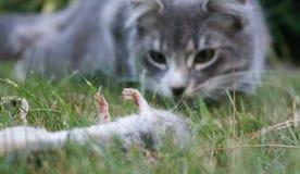 Een dode muis ligt voor de kat Royalty-vrije Stock Afbeelding