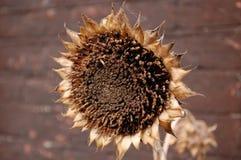Een dode zonnebloem Stock Foto's