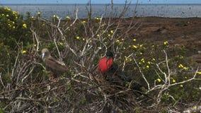 Een domoor en frigatebird het nestelen op Isla Genovesa in de Galapagos stock videobeelden