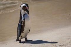 Een Domoorpinguïn royalty-vrije stock afbeeldingen