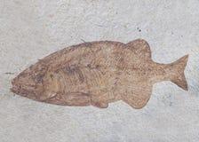 Een donker bruin fossiel van een vis is in een plak van witte steen royalty-vrije stock foto