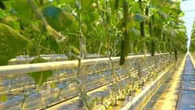 Een doorgang waar de komkommers in serre worden gekweekt stock footage