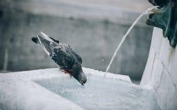 Een dorstige duif drinkt water op de stadsfontein Stock Foto