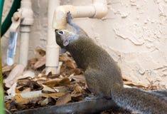 Een dorstige eekhoorndranken van afvoerkanaal Royalty-vrije Stock Foto's