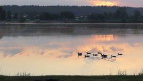 Een dozijn zwarte eenden zwemt in een meer bij zonsondergang in slo-mo stock video