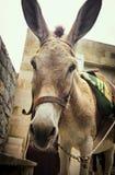 Een droevig gezicht van de vermoeide ezel Stock Foto