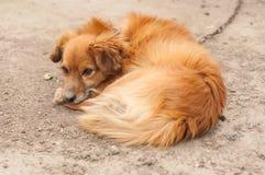 Een droevige foxy hond legt bij grond stock fotografie