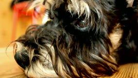 Een droevige hondsnuit Mini Schnauzer stock videobeelden