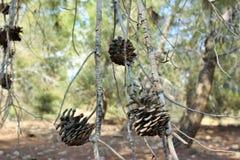 Een droge denneappel op een boomtak in het bos Stock Foto