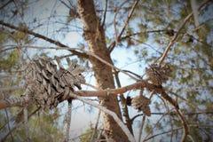 Een droge denneappel op een boomtak in het bos Stock Afbeeldingen