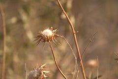 Een droge zonnebloem Stock Afbeeldingen