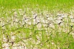 Een droogte van padieveld Royalty-vrije Stock Foto