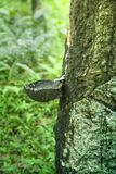 Een druppelpan op een rubberboom Royalty-vrije Stock Afbeelding