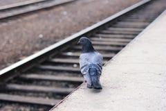 Een duif bevindt zich alleen op een leeg spoorwegplatform stock afbeelding
