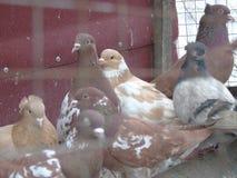 Een duif is de vreugde van de schoonheidseerlijkheid van inspiratie, van het leven, de wereld Stock Fotografie