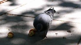 Een duif die brood in het stadspark eten, stock footage