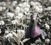 Een duif in het gras stelt voor de camera Dicht omhoog het bekijken de camera royalty-vrije stock fotografie