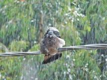 Een duif op een draad onder de regen Royalty-vrije Stock Afbeeldingen