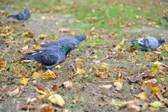 Een duifzitting op het gras de vredesvogel Een duif in het gras Stock Afbeeldingen