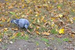 Een duifzitting op het gras de vredesvogel Een duif in het gras Stock Foto's