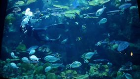 Een duiker maakt het reusachtige aquarium schoon Heel wat vissen stock videobeelden