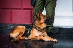 Een Duitse herder van de politiehond stock foto's